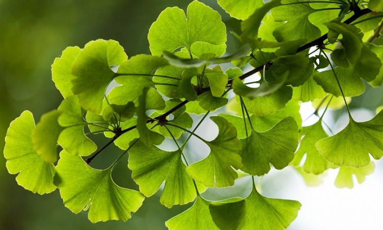 تجربتي مع نبات الجنكة لتقوية الذاكرة