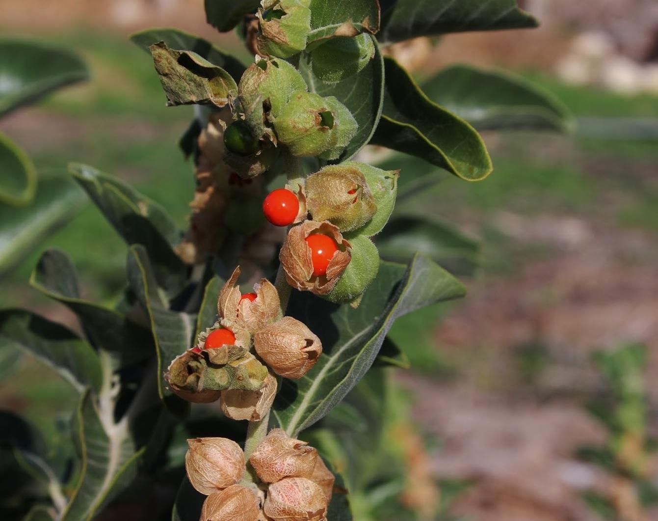 أهم فوائد عشبة الأشواغاندا